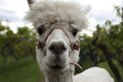 Alpaca up close. Up close and personal with an alpaca royalty free stock images