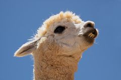 Alpaca (Vicugna pacos). Portrait of Alpaca (Vicugna pacos), domesticated species of South American camelid Stock Image