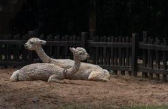 Alpaca-Vicugna pacos Royaltyfri Foto
