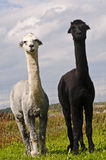 Alpaca, Vicugna pacos Stock Photos
