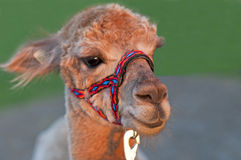 Alpaca, Vicugna pacos Royalty Free Stock Photos