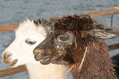Alpaca, Vicugna pacos. A white and a black male Stock Image
