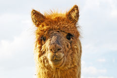 Alpaca, Vicugna pacos Stock Photography
