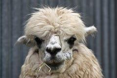 Alpaca (Vicugna pacos) Royalty Free Stock Image