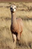 Alpaca (Vicugna pacos). Domesticated species of South American camelid Stock Images