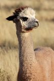 Alpaca (Vicugna pacos). Portrait of Alpaca (Vicugna pacos), domesticated species of South American camelid Stock Photo