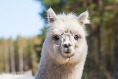 Alpaca (Vicugna pacos). Alapaca (Vicugna pacos) portrait photographed in early spring Stock Photography