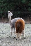 Alpaca (Vicugna pacos). Alapaca (Vicugna pacos) portrait photographed in early spring Royalty Free Stock Image