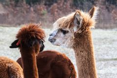 Alpaca (Vicugna pacos). Alapaca (Vicugna pacos) portrait photographed in early spring Royalty Free Stock Images
