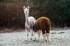 Alpaca (Vicugna pacos) Royalty Free Stock Photos
