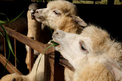 Alpaca & x28;Vicugna pacos& x29;. Alpacas as tourist attraction animals in Thailand royalty free stock photos