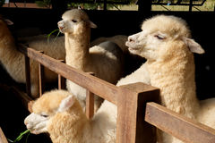 Alpaca & x28;Vicugna pacos& x29;. Alpacas as tourist attraction animals in Thailand royalty free stock photo