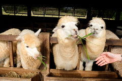 Alpaca & x28;Vicugna pacos& x29;. Alpacas as tourist attraction animals in Thailand stock photography