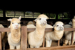 Alpaca & x28;Vicugna pacos& x29;. Alpacas as tourist attraction animals in Thailand Stock Photo