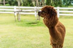 An Alpaca Vicugna pacos. Brown Alpaca on grass field background Stock Photos