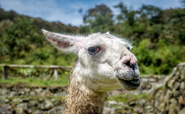 Alpaca Vicugna pacos in Cusco, Peru.  Royalty Free Stock Photography