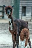 An baby alpaca Vicugna pacos. An alpaca Vicugna pacos is a domesticated species of South American camelid, A calf of alpaca Stock Image