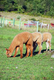 Alpaca. (Vicugna pacos) is a domesticated species of South American camelid. It resembles a small llama in appearance Stock Images