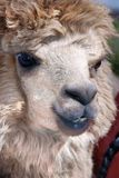Alpaca. (Vicugna pacos) is a domesticated species of South American camelid. It resembles a small llama in appearance Stock Photos