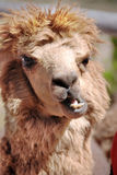 Alpaca. (Vicugna pacos) is a domesticated species of South American camelid. It resembles a small llama in appearance Royalty Free Stock Photo