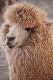 Alpaca. (Vicugna pacos) is a domesticated species of South American camelid. It resembles a small llama in appearance Stock Image