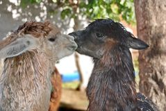 Alpaca. (Vicugna pacos) is a domesticated species of South American camelid. It resembles a small llama in appearance Royalty Free Stock Photography