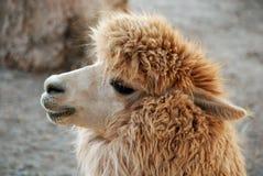 Alpaca Royalty Free Stock Photos