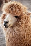 Alpaca. (Vicugna pacos) is a domesticated species of South American camelid. It resembles a small llama in appearance Royalty Free Stock Photos
