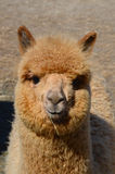 Alpaca. (Vicugna pacos) is a domesticated species of South American camelid. It resembles a small llama in appearance Royalty Free Stock Image