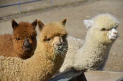 Alpaca Royalty Free Stock Images