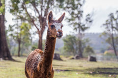 Alpaca Vicugna pacos eating and chewing on a fresh leaf Royalty Free Stock Photography