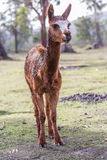 Alpaca Vicugna pacos eating and chewing on a fresh leaf in natural background Stock Photography