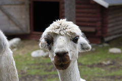 Alpaca (Vicugna pacos). Head of a white Alpaca (Vicugna pacos) in a park in the North of Sweden Royalty Free Stock Photography