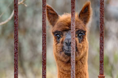 Alpaca Vicugna pacos looking out iron fence. Royalty Free Stock Photography