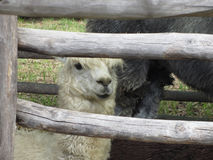 Alpaca  Vicugna pacos  looking out wooden fence.  Royalty Free Stock Photos