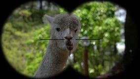 Alpaca Vicugna pacos Seen through Binoculars. Watching Animals at Wildlife Safari. Shot with a Sony RX10 IV fps 59,94 FHD stock video footage