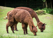 Alpaca (Vicugna pacos). Two alpacas (Vicugna pacos) graze on the green lawn Stock Images