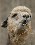 Alpaca - Vicugna pacos Royalty Free Stock Image