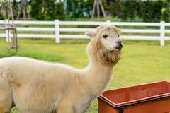 An Alpaca Vicugna pacos. White Alpaca on grass field background Royalty Free Stock Photos