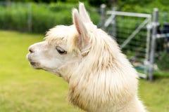 An Alpaca Vicugna pacos. White Alpaca on grass field background, closeup shot Royalty Free Stock Photos