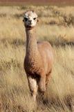 Alpaca (Vicugnapacos) Arkivbilder