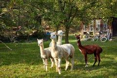 Alpaca walk in nature. Alpacas graze on the grass. Many Alpacas walk in the village courtyard. Beautiful animals among nature. Alpaca go on the farm stock image