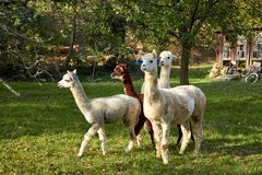 Alpaca walk in nature. Alpacas graze on the grass. Many Alpacas walk in the village courtyard. Beautiful animals among nature. Alp. Aca go on the farm stock images