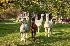 Alpaca walk in nature. Alpacas graze on the grass. Many Alpacas walk in the village courtyard. Beautiful animals among nature. Alpaca go on the farm royalty free stock images