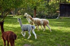 Alpaca walk in nature. Alpacas graze on the grass. Many Alpacas walk in the village courtyard. Beautiful animals among nature. Alp. Aca go on the farm royalty free stock image