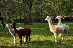 Alpaca walk in nature. Alpacas graze on the grass. Many Alpacas walk in the village courtyard. Beautiful animals among nature. Alpaca go on the farm stock images