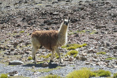 Alpaca walking on stones Stock Photography