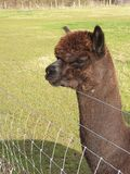 Alpaca my bags and come with you! royalty free stock image