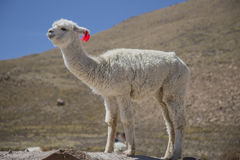 Alpaca watch Royalty Free Stock Images