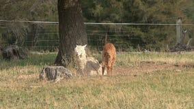 Alpaca, West coast, New Zealand stock video footage